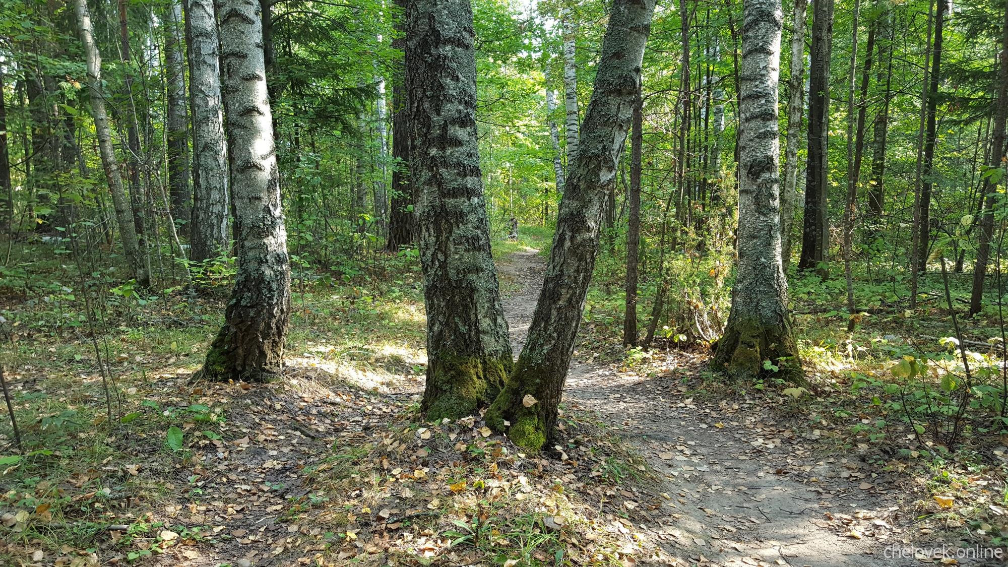 Тропинка в лесу, берёзы. Начало осени